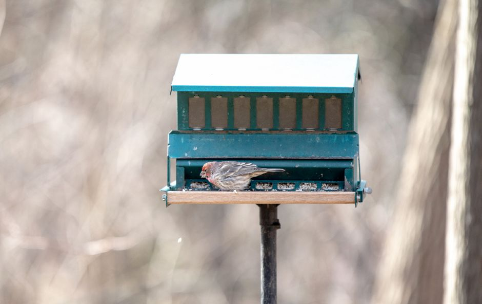 Devin Leith-Yessian/Record-Journal – A bird takes some breakfast from a birdfeeder at the Riverbound Farm Sanctuary in Cheshire. The Quinnipiac Valley Audubon Society and Cheshire Land Trust led a hike around the property for the First Day Hike on Jan. 1.
