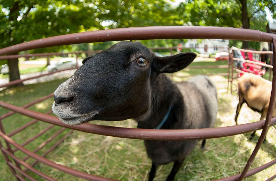 Al Valerio/Cheshire Herald – Guests of the Grange Fair weren't the only ones curious to get a look at the weekend's festivities.