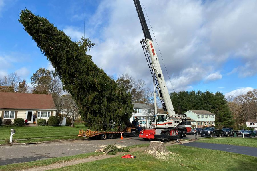 Photos courtesy of Jeannette Gangi. Gangi tree being loaded onto truck set for New Haven Town Green